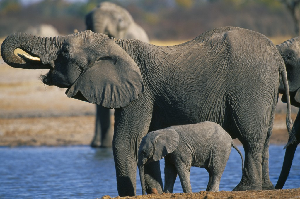 Scum: Land grabs by statist elites endanger elephants across Africa 481602811-1024x681