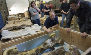 Pat Leiggi, administrative director of paleontology and director of exhibits for Museum of the Rockies (center) and Matthew Carrano, curator of Dinosauria, at the Smithsonian Institution National Museum of Natural History (right) look over the left and right thigh bones and middle shoulder blade of the Wankel T. Rex at the Museum of the Rockies in Bozeman, Montana. The fossil is on a 50-year-loan to the Smithsonian National Museum of Natural History. Photo by Nikki Kahn/The Washington Post via Getty Images