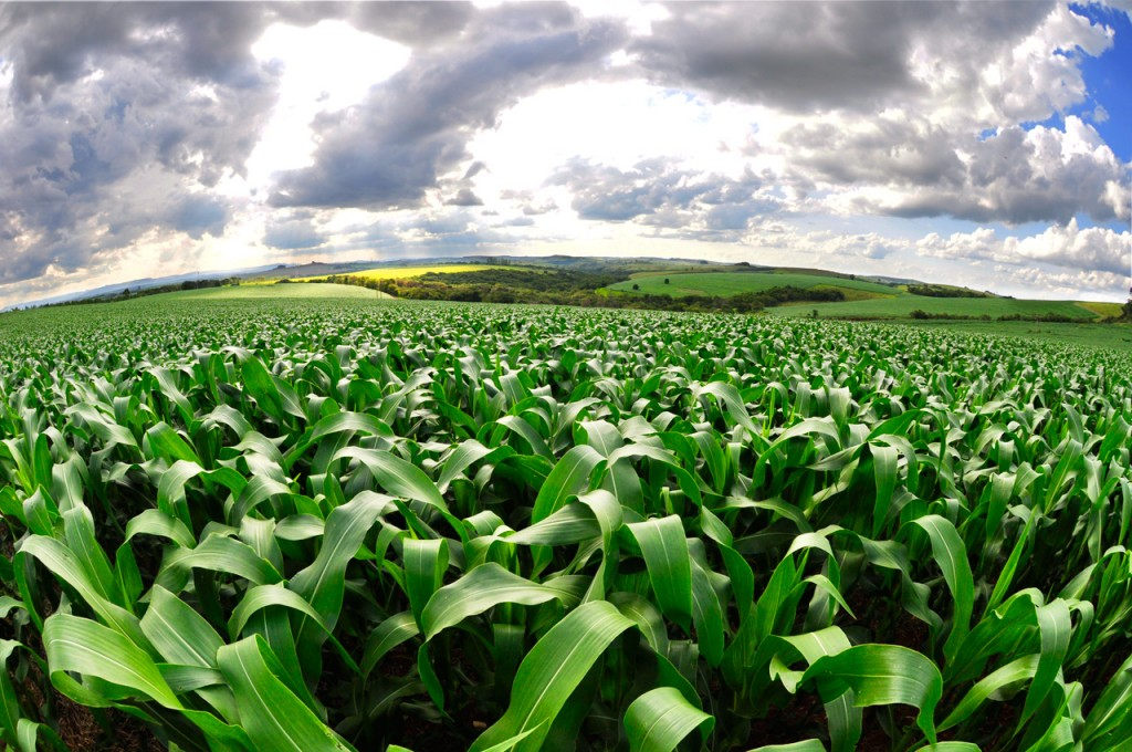 A cornfield in Minas Gerais, Brazil. Photo by Flickr user BongoInc