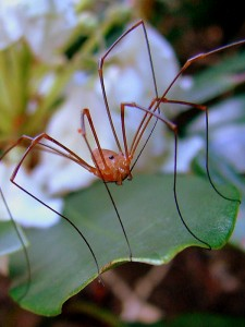 A Daddy longlegs. Photo by Flickr user rittyrats