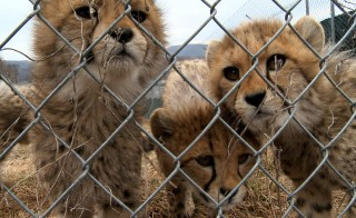 These cheetah cubs at the Smithsonian Conservation Biology Institute in Front Royal, Va. may become foster siblings for a set of cubs that were injured, and nearly killed, by their mother. Photo by Victoria Fleischer/PBS NewsHour.
