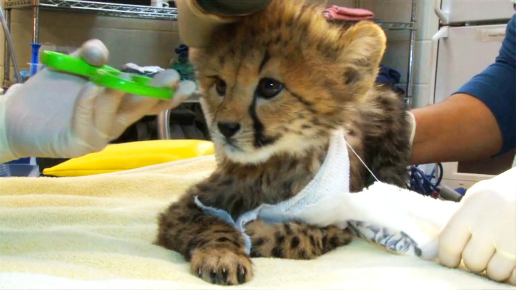 Cheetah cubs were critically injured when their mother became nervous. They went through three major surgeries, hundreds of stitches, and nearly died from the infected wounds. Now the keepers hope that another cheetah at the zoo will adopt them.