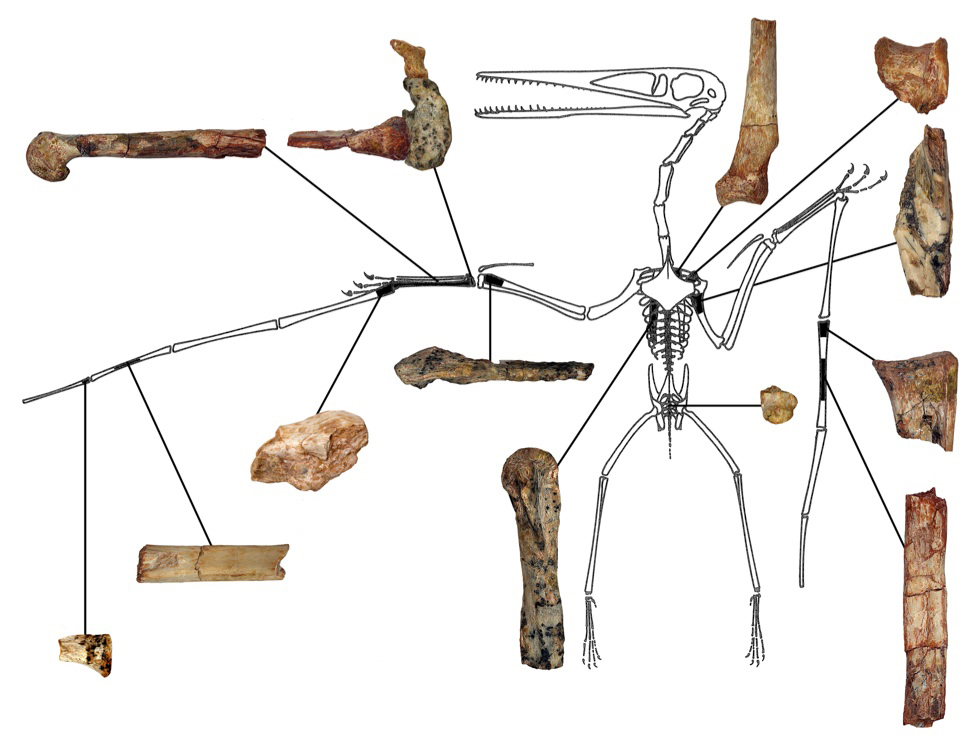 "A diagram shows the fragmentary remains of ""Kryptodrakon progenitor"" found in the famed ""dinosaur death pits"" area of the Shishugou Formation in northwest China. Researchers focused on one of the palm bones, which is longer than its more primitive relatives and shows that it is the earliest known pterodactyloid pterosaur. The skeletal outline is Pterodactylus antiquus reprinted with permission from Peter Wellnhofer. Scale bar is 50 mm. Illustration by Brian Andres/University of South Florida"