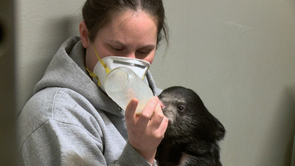 This two-month-old sloth bear cub at the Smithsonian National Zoo is being raised by zookeepers after her mother ate her siblings.