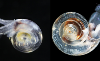 A healthy pteropod collected during the U.S. West Coast survey cruise (left) and one of a dissolving shell (right). This is the first evidence of marine snails from the natural environment along the U.S. West Coast with signs that shells are dissolving. Photos courtesy of NOAA