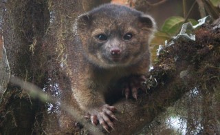 Last summer, scientists discovered the first new carnivore species in America in 35 years, the olinguito. Photo by Mark Gurney for Smithsonian via Getty Images