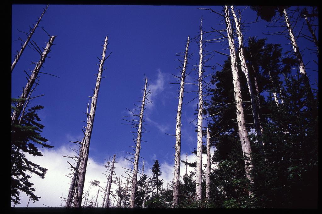Acid rain damaged trees. Photo by Flickr user David Mason