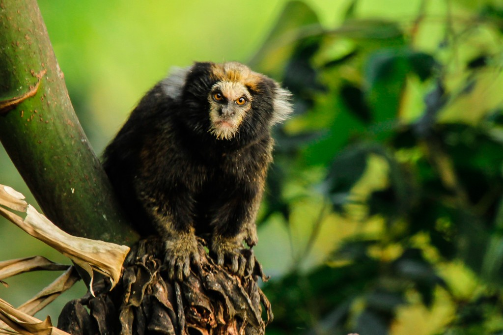 The buffy-tufted-ear marmoset's numbers have been directly affected by humans, due to shrinking habitats due to development in Brazil. Photo by Flickr user Jack Hynes