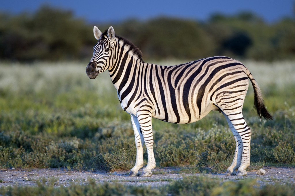 Burchell's zebra. Photo by Wikimedia user Yathin S Krishnappa