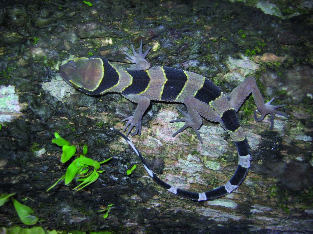 Cyrtodactylus phuketensis.  Photo by Montri Sumontha