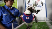 Two-year-old African penguin named Aochan, wearing the Japanese soccer team jersey, prepares to make a prediction on the result of Japan's 2014 World Cup soccer match against Ivory Coast at Shinagawa Aqua Stadium aquarium in Tokyo
