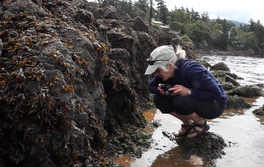 Drew Harvell, a marine epidemiologist, surveys the intertidal zone of Eastsound on Orcas Island, looking for signs of sea star wasting syndrome. Photo by Katie Campbell/Earthfix