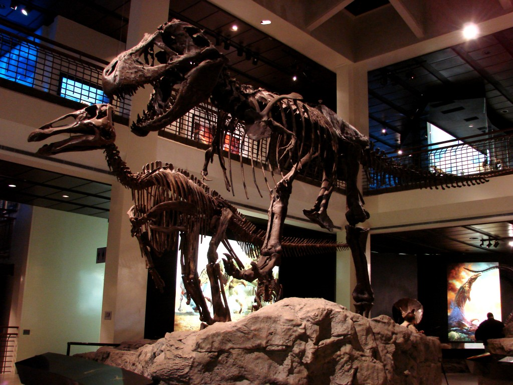 A Tyrannosaurus rex skeleton on display at the Houston Museum of Natural Science. New research sheds light on dinosaur metabolism. Photo by Flickr user Erin Blatzer