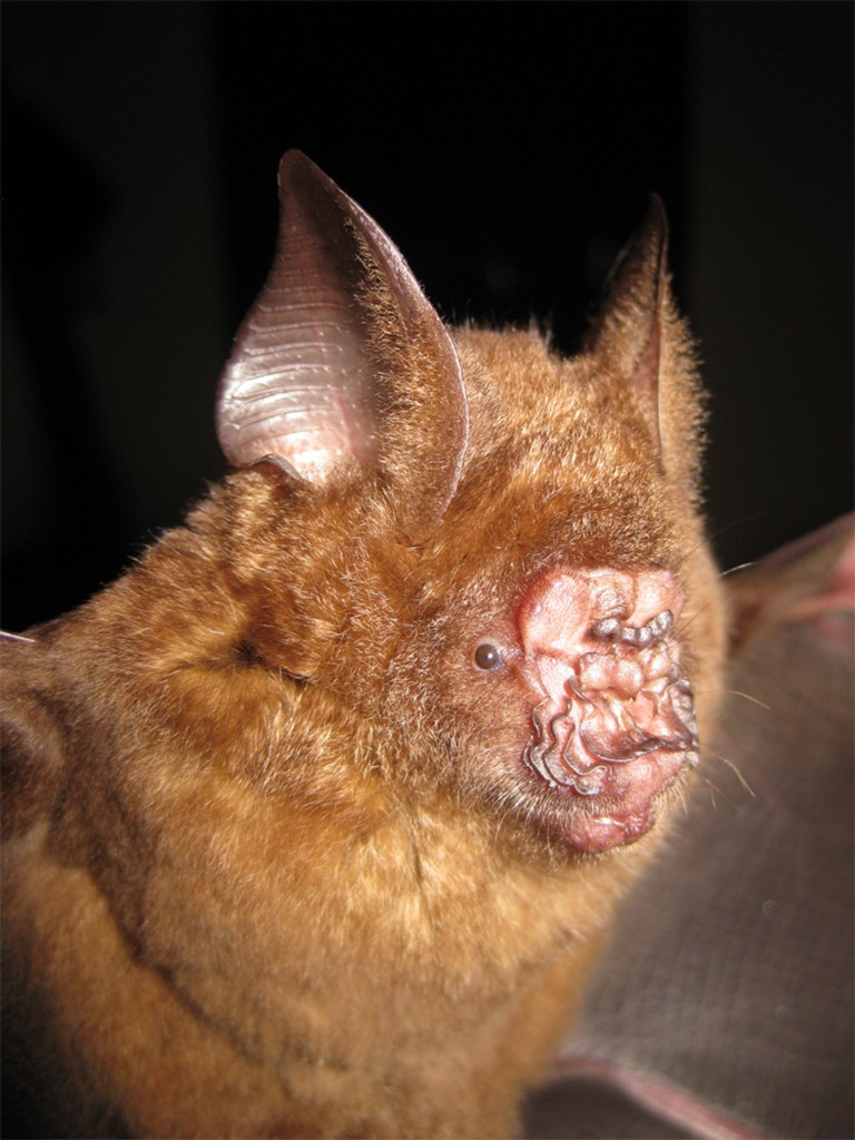 Hipposideros griffini. Photo by Vu Dinh Thong / Institute of Ecology and Biological Resources, Hanoi