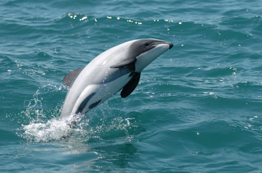 Critics are worried that New Zealand's decision to drill for oil in protected marine reserves could spell disaster for the world's rarest marine mammal, the Maui's dolphin. Photo courtesy of Flickr user Earthrace Conservation.
