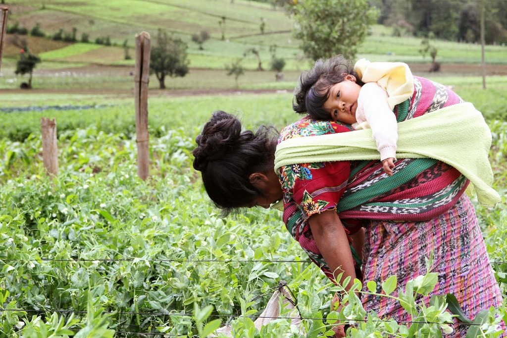 Maria Pilar, with 5-month-old Blanca on her back, weeds a field of peas. While she works this crop to harvest for export, she doesn't use the vegetables in her own diet. And that's one of many reasons for the 70 to 80 percent childhood malnutrition rates in rural Guatemala. Photo by Hari Sreenivasan