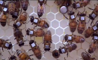 Scientists are trying to understand how bees work together without a leader. Photo courtesy Science Nation/National Science Foundation