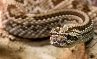 Researchers in California are hoping to produce an inexpensive and easy way to save patients from venomous snake bites, especially in rural areas where access to a hospital is difficult. Photo by Flickr user katsrcool