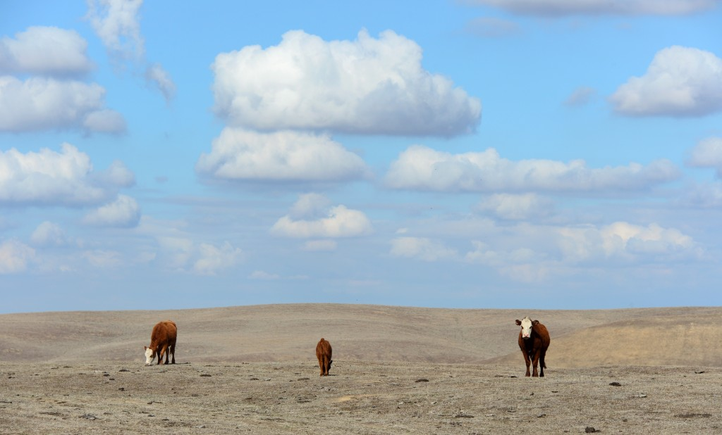 Hereford cattle roam the dirt-brown fields of a ranch on the outskirts of Delano, in California's Central Valley, on February 3, 2014. Photo by Frederic J. Brown/AFP/Getty Images