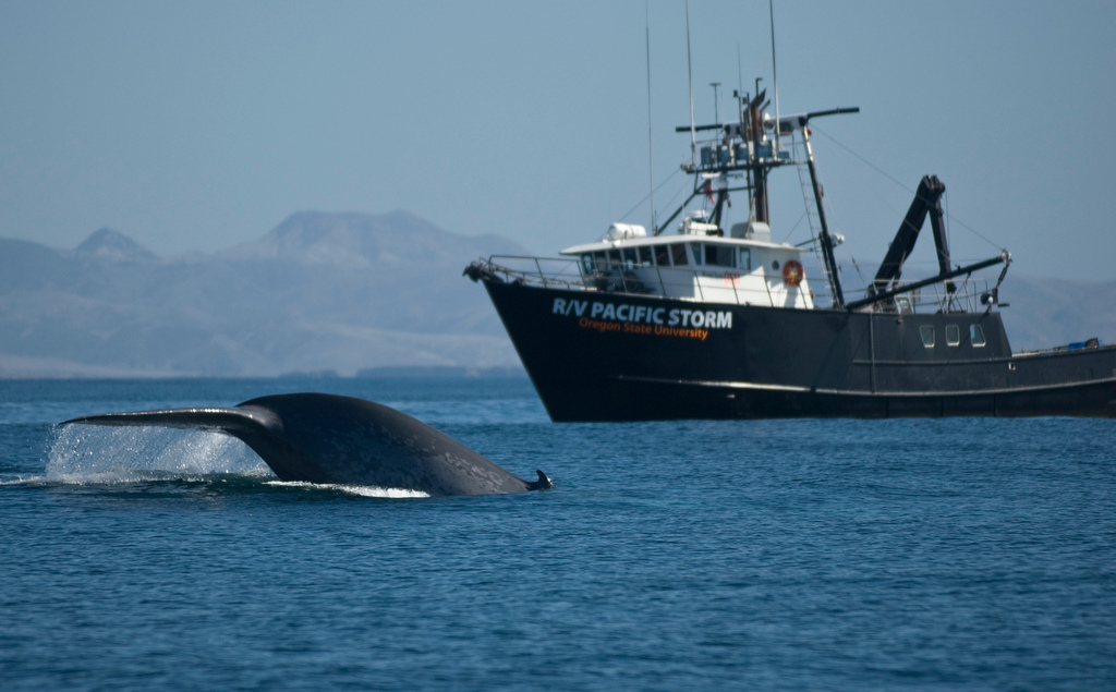 Researchers on the Pacific Storm, a research vessel operated by Oregon State University, tagged blue whales near the Channel Islands of California in 2006. Credit: Craig Hayslip, courtesy of OSU Marine Mammal Institute