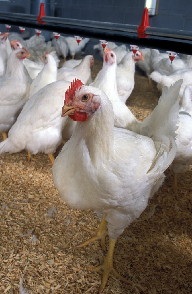 The new rules for poultry plant inspection, announced Thursday, will focus more on food safety than quality. Photo by U.S. Department of Agriculture