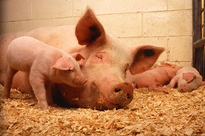 This sow's five pigs developed from cryopreserved and surgically transferred embryos. Photo by Keith Weller.