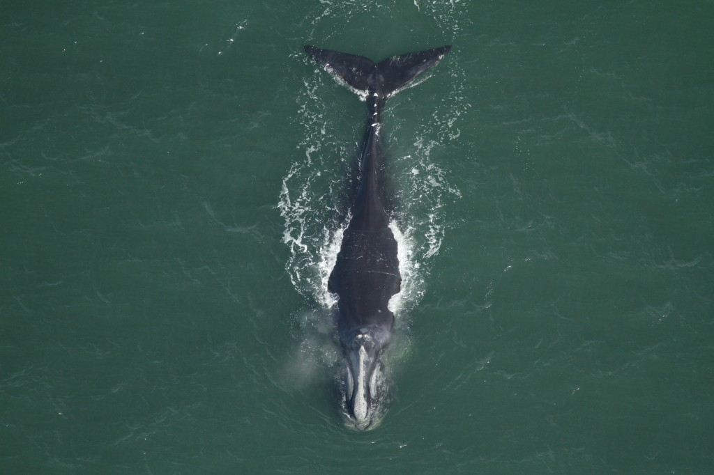 The U.S. Bureau of Ocean Energy Management has estimated that more than 138,000 sea creatures, including the North Atlantic right whale, could be harmed by the use of sonic cannons. Photo by Fish and Wildlife Research Institute