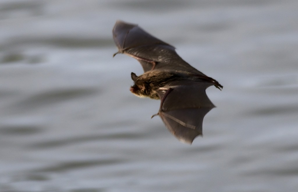 Bats are the only other mammal, other than humans, known to be able to perceive polarized light. Photo by Flickr user Noel Reynolds