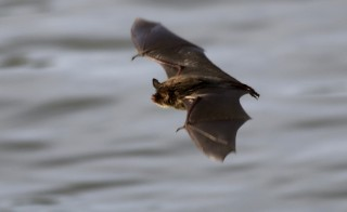 Bats are the only other mammal, other than humans, known to Photo by Flickr user Noel Reynolds