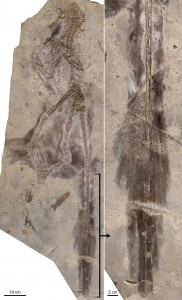 Changyuraptor with (right) details of  plumage. Photo by Luis Chiappe/NHM