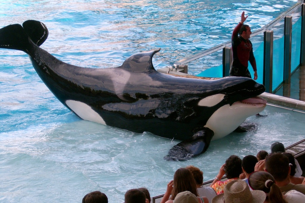 SeaWorld says it is expanding the tanks that house its killer whales. Photo by Flickr user Abi Skipp