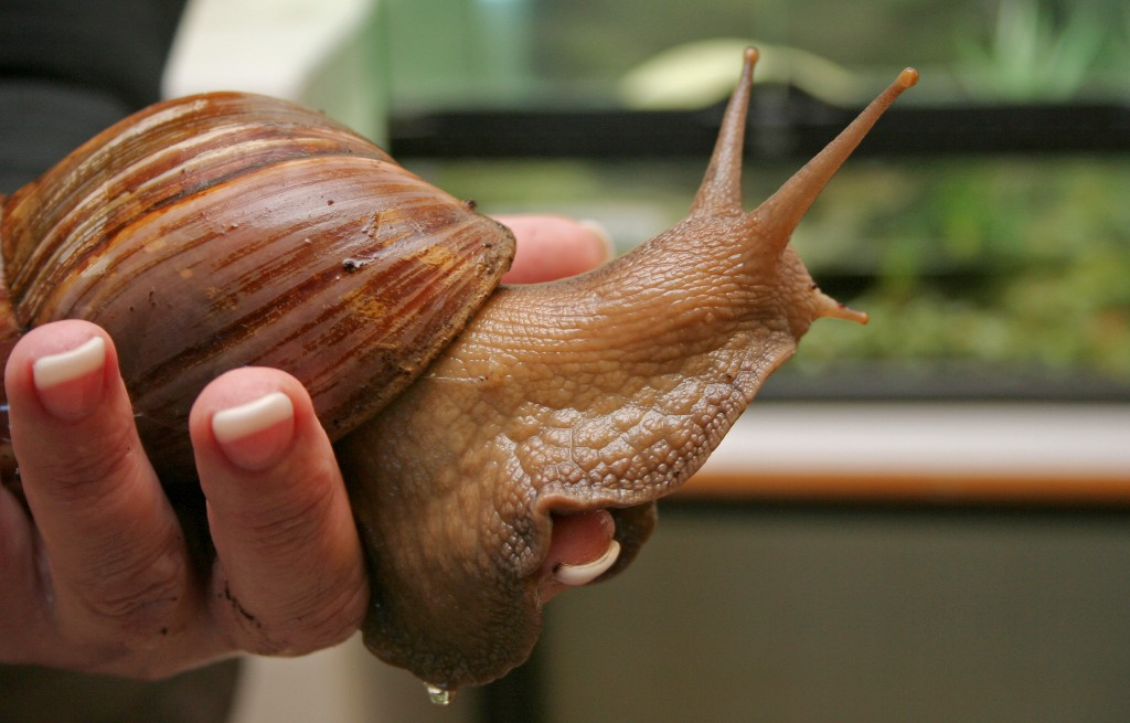The giant African snail  Photo by Flickr user Coleg Gwent