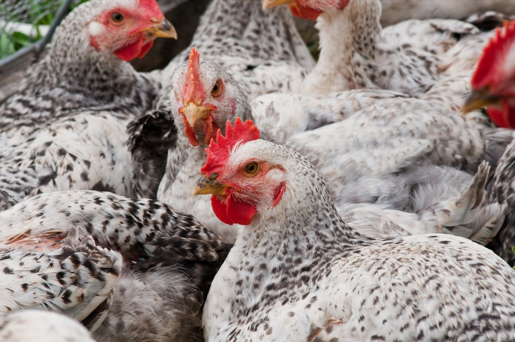 Photo of chickens at a Maryland farm by Lance Cheung/USDA
