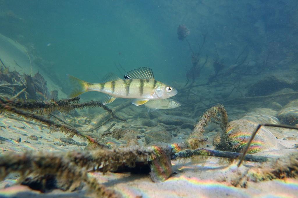 European perch. Photo courtesy of Wikimedia Commons.