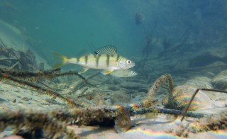 European perch. Photo courtesy of Wikimedia Commons.