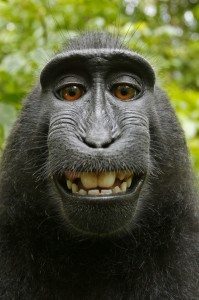 Turns out this photo, taken by a monkey, is not protected under a new U.S. copyright law.
