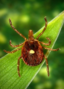 A female Lone Star Tick sits on a blade of grass.  Image by  Kallista Images and Getty Images