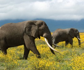 Two African elephants roam the flowery grassland in Tanzania. Copyright: © Steve Morello / WWF-Canon