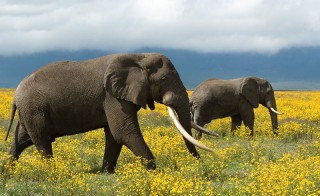 Two African elephants roam the flowery grassland in Tanzania. A new report says that Chinese gangs were able to smuggle elephant ivory out of Tanzania with the help of corrupt country officials. Photo copyright: © Steve Morello / WWF-Canon