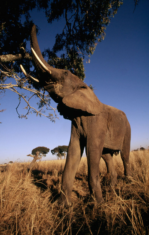 An African elephant reaches up to feed on tree branches in Africa. Photo by © Martin Harvey / WWF-Canon
