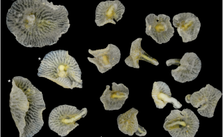 An animal found in the ocean of the coast of Australia in 1986 has defied classification on the tree of life. Photo courtesy PLOS ONE