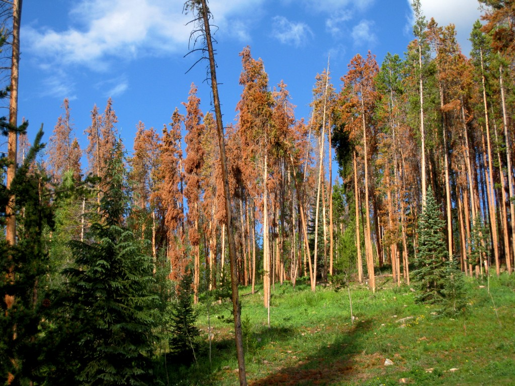 Damage to lodgepole pines from the pine bark beetle. Photo from Flickr user VSmoothe