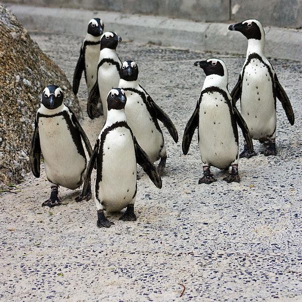 600px-African_Penguins_Spheniscus_demersus