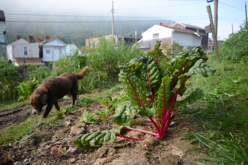 Danny Swan's dog Yukon keeps watch over the Swiss chard at Farm 18. Photo by Ariel Min/PBS NewsHour
