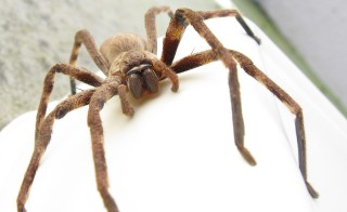 A harmless pantropical huntsman spider, which is often confused with other, dangerous spiders in international shipments. Photo from Wikimedia commons.