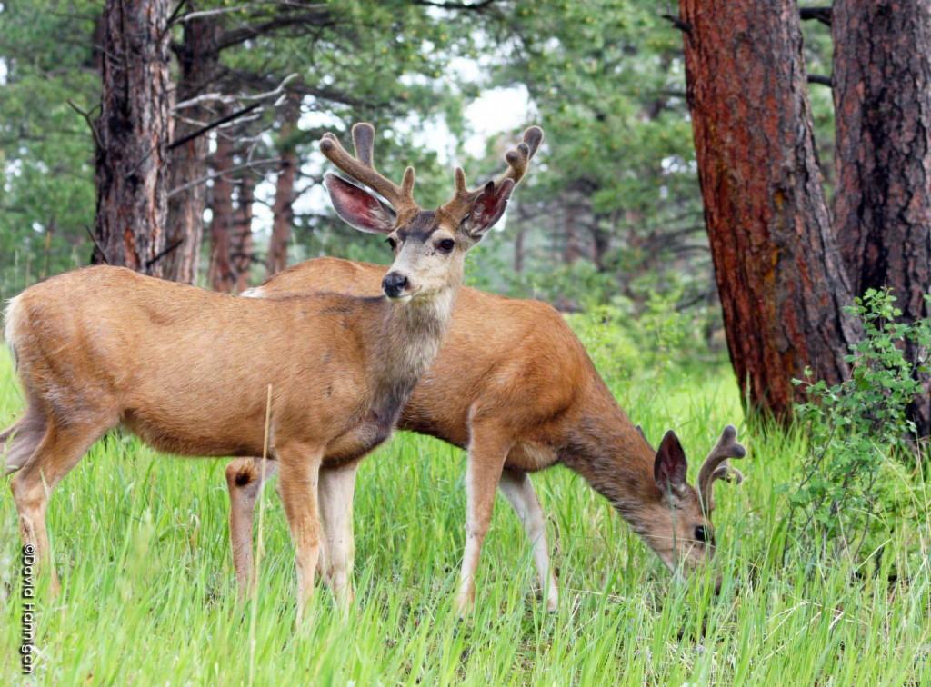 A mule deer buck in velvet, near Bailey, Colorado. Photo by David Hannigan, Colorado Division of Wildlife
