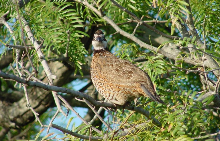 """The northern bobwhite quail has seen steep population declines in the last 40 years, leading scientists to favor a """"landscape-scale"""" approach to conservation. Photo by Jason Hardin, Texas Parks & Wildlife"""