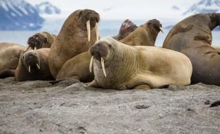 walrus 1
