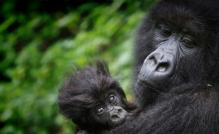 SAVING THE GORILLAS virunga monitors