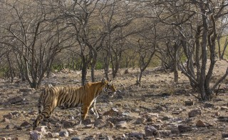 A wild tiger walks through his domain in the dry forest of Ranthambhore National Park in Rajasthan, India during the hot and dry summer months. Credit: Getty Images